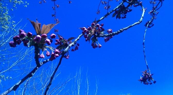 Kirschblüte t minus eins